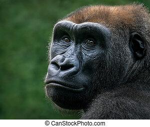 El gorila de las tierras bajas occidentales VIII