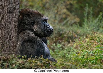 El gorila de las tierras bajas occidentales XI