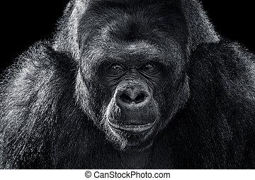 El gorila de las tierras bajas occidentales XII