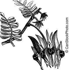 El guisante desértico de Sturt o Swainsona para grabados antiguos