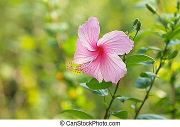 El hibico rosa vivo está floreciendo