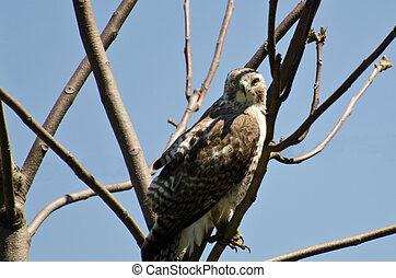 El joven halcón de cola roja haciendo contacto visual