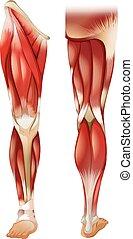 El músculo de la pierna