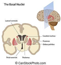 El núcleo basal del cerebro