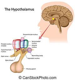 El núcleo del hipotálamo