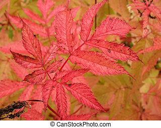 El otoño deja aruncus dioicus
