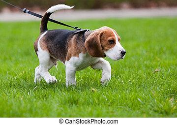 El perro Beagle está en el rastro