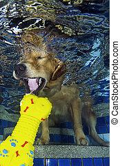 El perro bucea y muerde el hueso de la piscina, vista bajo el agua.