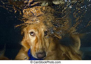 El perro bucea y muerde la pelota en la piscina, vista bajo el agua.