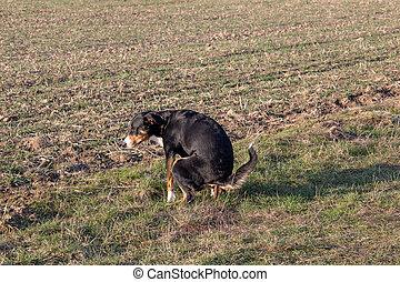 El perro negro cagando en Greensward, Appenzeller Sennenhund