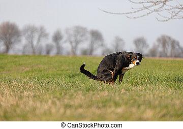 El perro negro cagando en Greensward, el perro de la montaña aprenzeller.