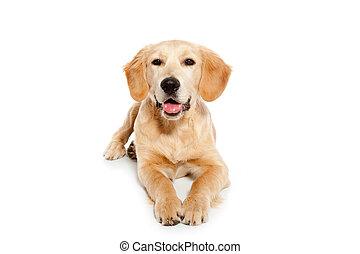 El perro perro perro Golden Retrechista aislado en blanco