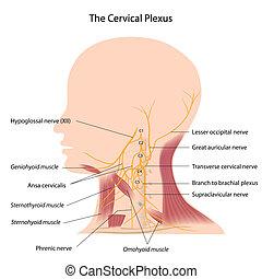 El plexo cervical, eps10