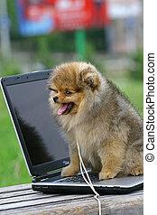 El Pomeraniano (a menudo conocido como Pom) es una raza de perros del tipo Spitz, llamados para la región de Pomerania en Europa Central (hoy parte del este de Alemania y del norte de Polonia) y clasificado como un perro de juguete