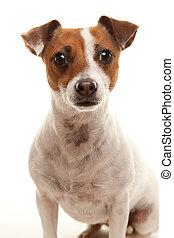 El portal de un adorable Jack Russell Terrier