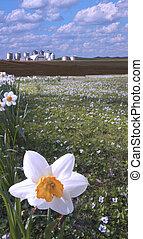 El primer plano de Daffodil y la granja