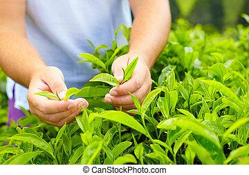 El primer plano de las manos del hombre cosechando hojas de té