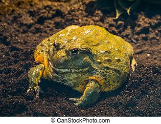 El primer plano de una rana toro africana, un gran anfibio tropical de África