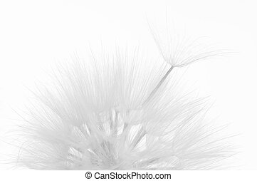 El primer plano del Dandelion