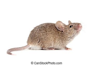 El ratón está aislado en blanco