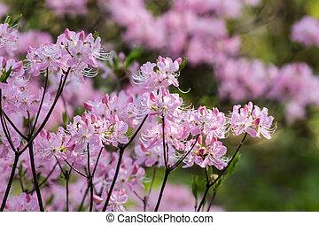 El rododendro rosa en el jardín de primavera
