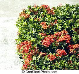 El seto de la coccinea roja es una especie de planta de flores en la familia Rubiaceae.