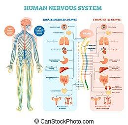 El sistema nervioso humano muestra un diagrama de ilustración médica con nervios parasimpáticos y simpáticos y todos los órganos internos conectados.