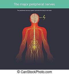 El sistema nervioso periférico conecta el cuerpo al cerebro