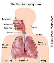 El sistema respiratorio, etiquetado