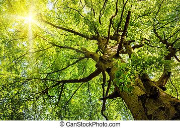 El sol brilla a través de un viejo árbol de haya