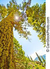 El sol brilla a través del dosel de un pino