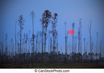 El sol se pone detrás de la planta de árboles secos de eucalipto para la escena natural y el fondo de la naturaleza multipropósito
