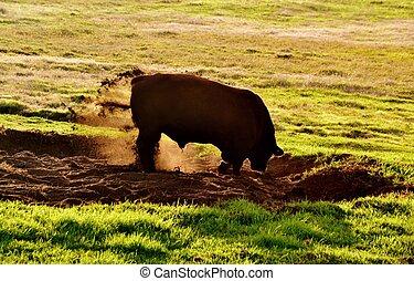 El toro al amanecer