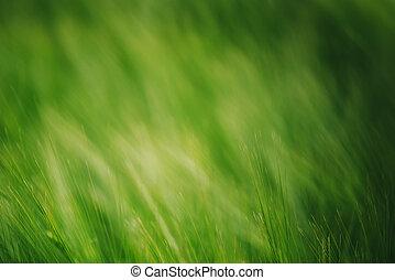 El trigo verde en campo cultivado como origen agrícola abstracto