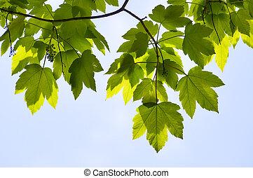 El verde arce de cerca deja la temporada de fondo
