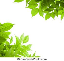 El verde deja la frontera por un ángulo de página sobre un fondo blanco, hoja de la Wisteria