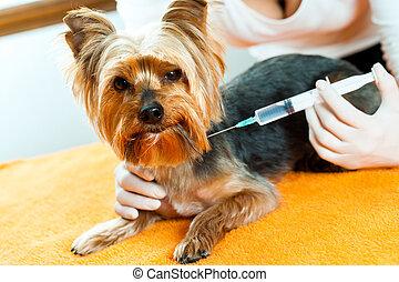 El veterinario está inyectando al perro.