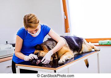 El veterinario examina al perro pastor alemán con la boca irritada.