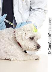 El veterinario inyecta aguja de perro