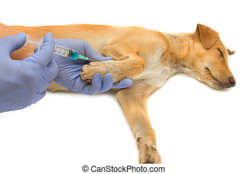 El veterinario inyecta al perro