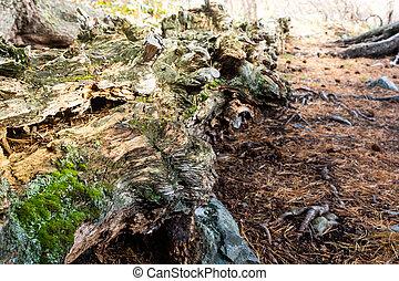 El viejo musgo cubierto de bosque