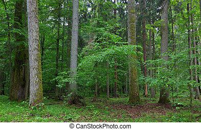 El viejo rayo de cuerno y el musgo de roble envuelto en bosques de primavera