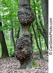 El viejo tronco de roble en primavera