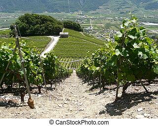 El vino de Saillon es de Rhone Valley Wallis Suiza