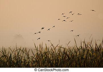 El vuelo matutino de patos sobre el pantano de niebla