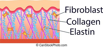 elastin, fibroblast, estructura, vector, colágeno, células, ilustración