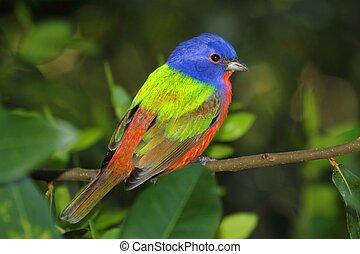 empavesado pintado, ciris), (passerina