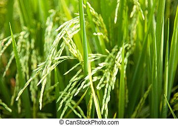 En los campos de arroz.