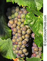 encendido, uvas, vino