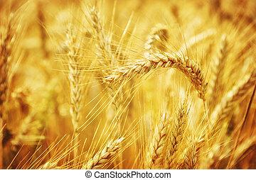 Encerrado en el campo de trigo dorado